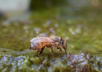 abeja bebiendo agua
